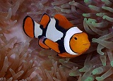 Amphiprion percula 1